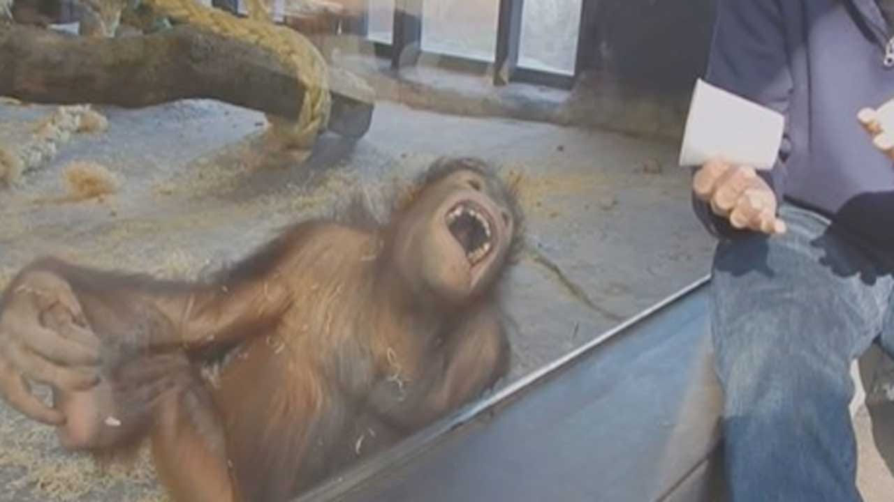 Orangutan Laughs Hysterically At Zoo Magic Trick - And So Will You