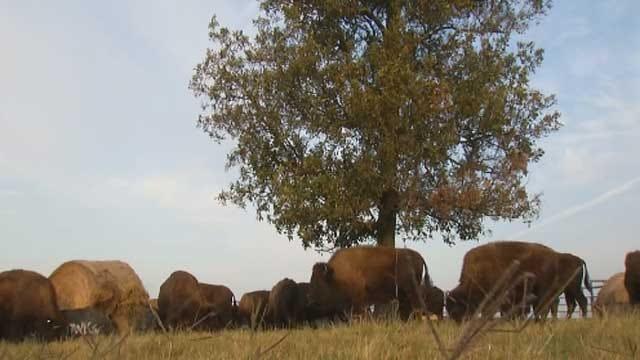 Cherokee Tribe Brings American Bison Back To Oklahoma