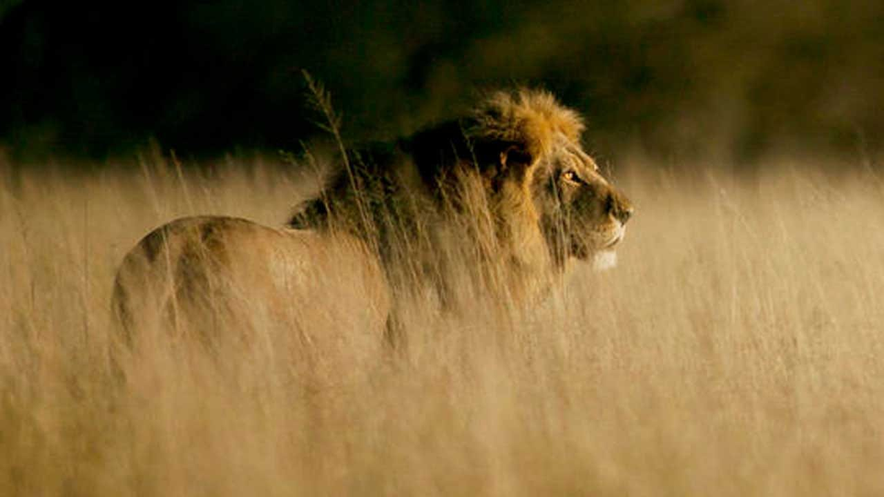 Poachers Eaten By Lions After Sneaking Onto South African Game Reserve To Hunt Rhinos