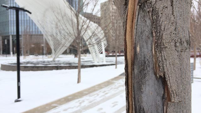 48 Injured Trees Will Be Uprooted At OKC's Myriad Gardens