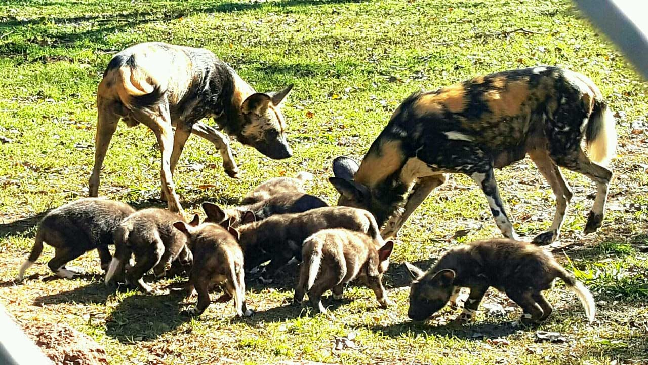 OKC Zoo Announces Births Of 8 African Wild Dog Pups
