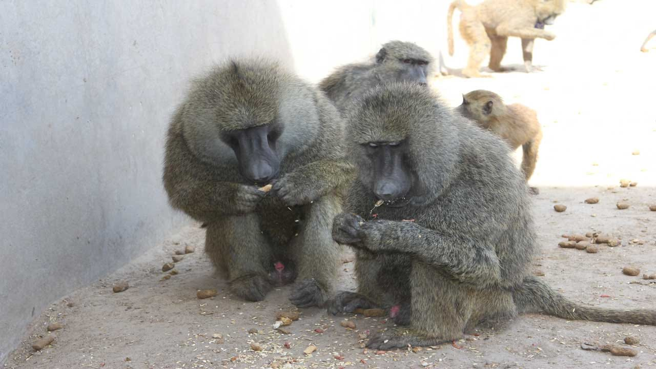 Employee Speaks Out About OU's Baboon Program