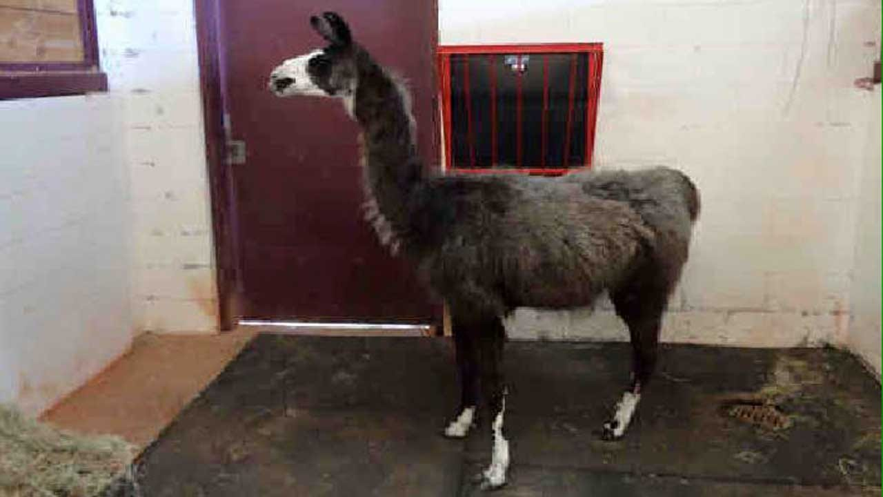 OKC Animal Welfare Searching For Owner Of Stray Llama