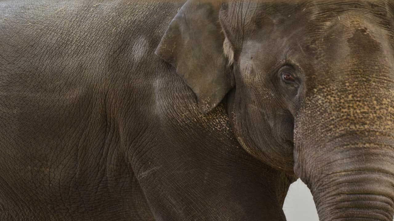 OKC Zoo To Welcome New Elephant