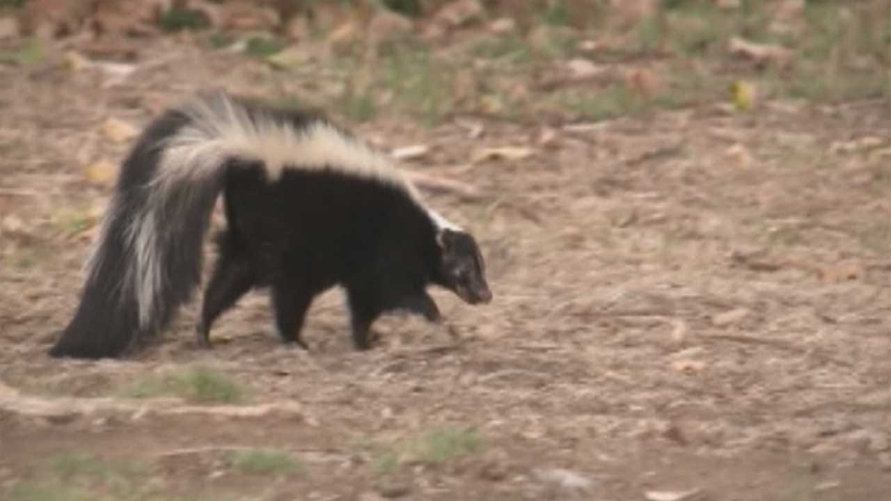 Edmond Animal Welfare Finds Skunk With Rabies Within City Limits