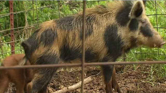 Feral Hogs Targeted By New Oklahoma Legislation