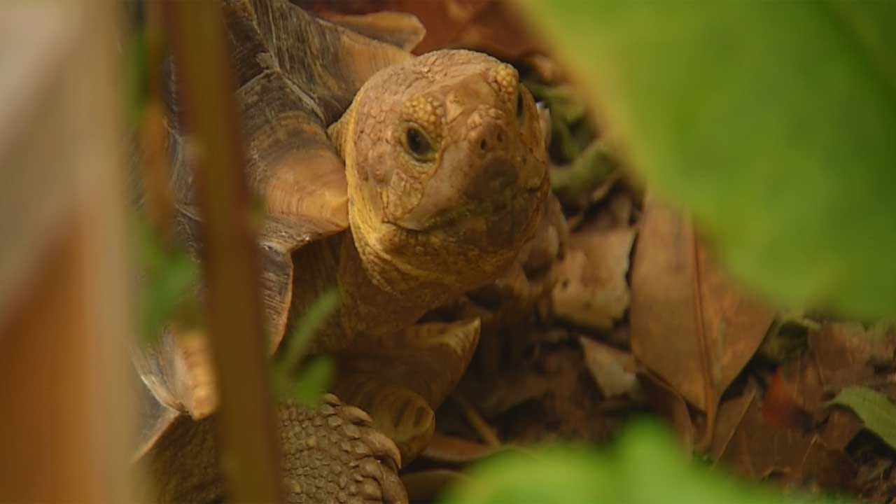 Exotic Tortoise Back Home With Yukon Owner
