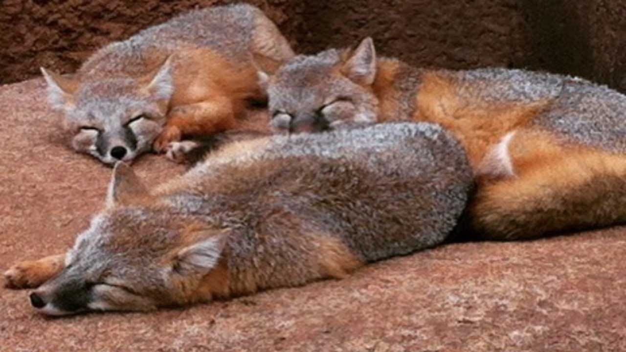 OKC Zoo Needs Your Help Naming Trio Of Swift Foxes
