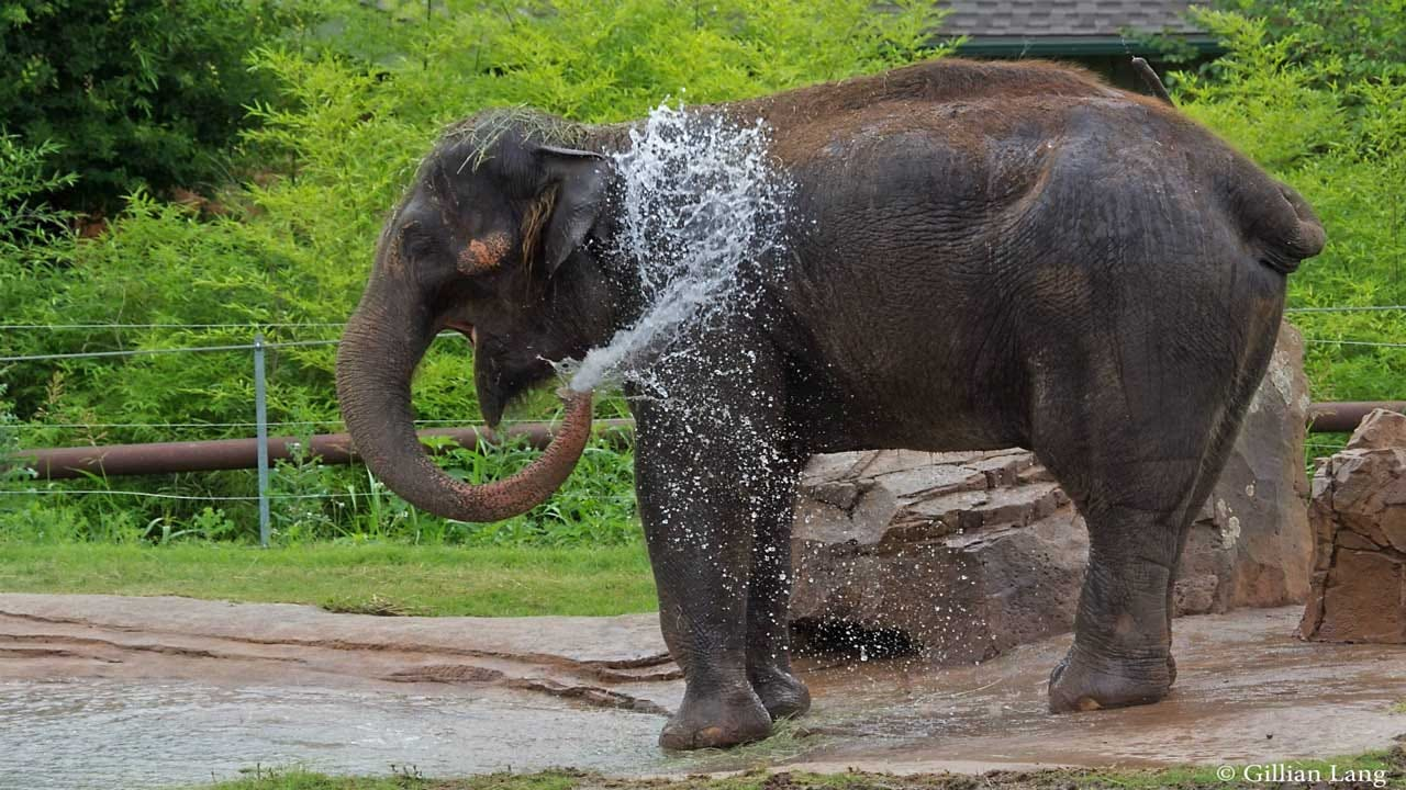 OKC Zoo Announces Death Of Female Asian Elephant Chai