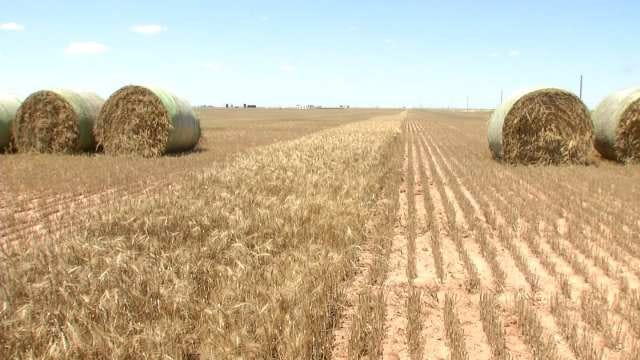 Oklahoma Wheat Crop Up, Prices Down