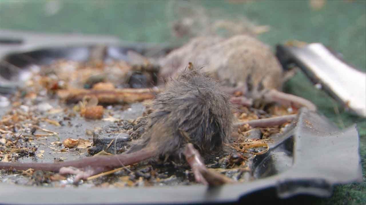 Rats Infest Northeast Oklahoma City House