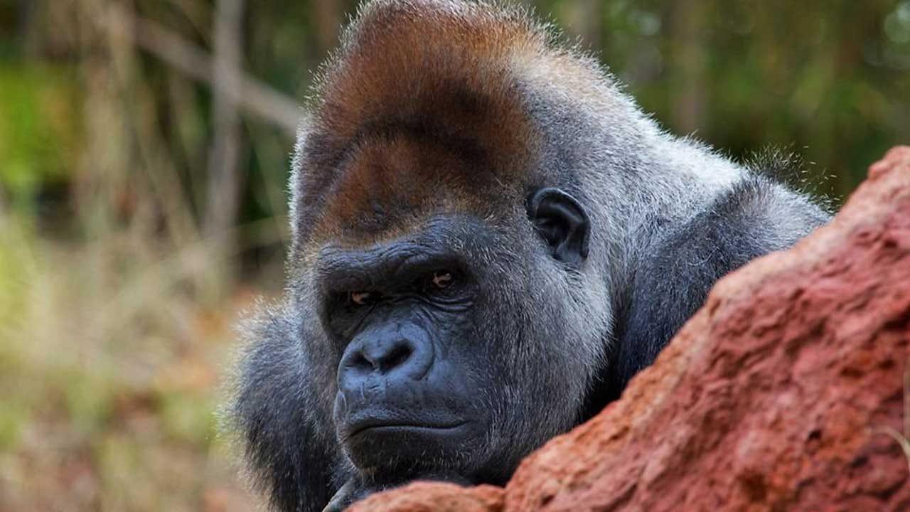 Beloved Silverback Gorilla In OKC Zoo Died Saturday