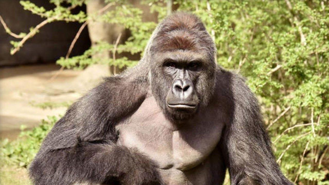 Cincinnati Zoo Kills Gorilla After Child Falls Into Exhibit
