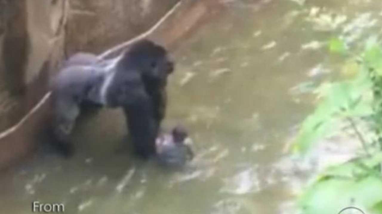 Police Investigating Circumstances Of Gorilla's Death