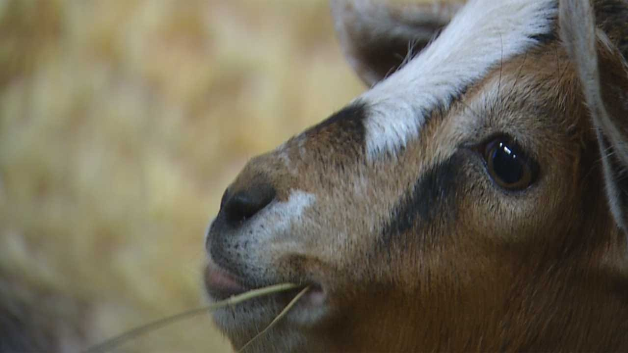 OKC Animal Welfare Sees Increase In Stray Goats