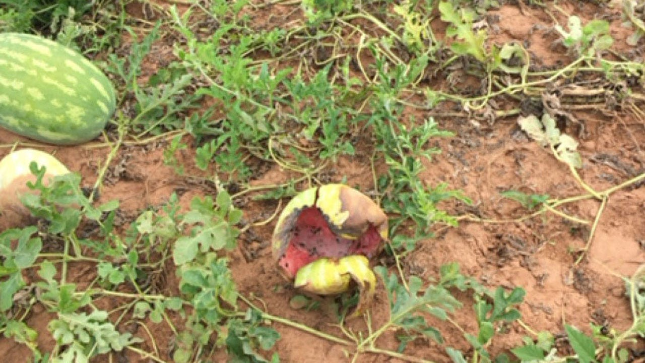 Feral Hogs Damaging Rush Springs Watermelon Crop