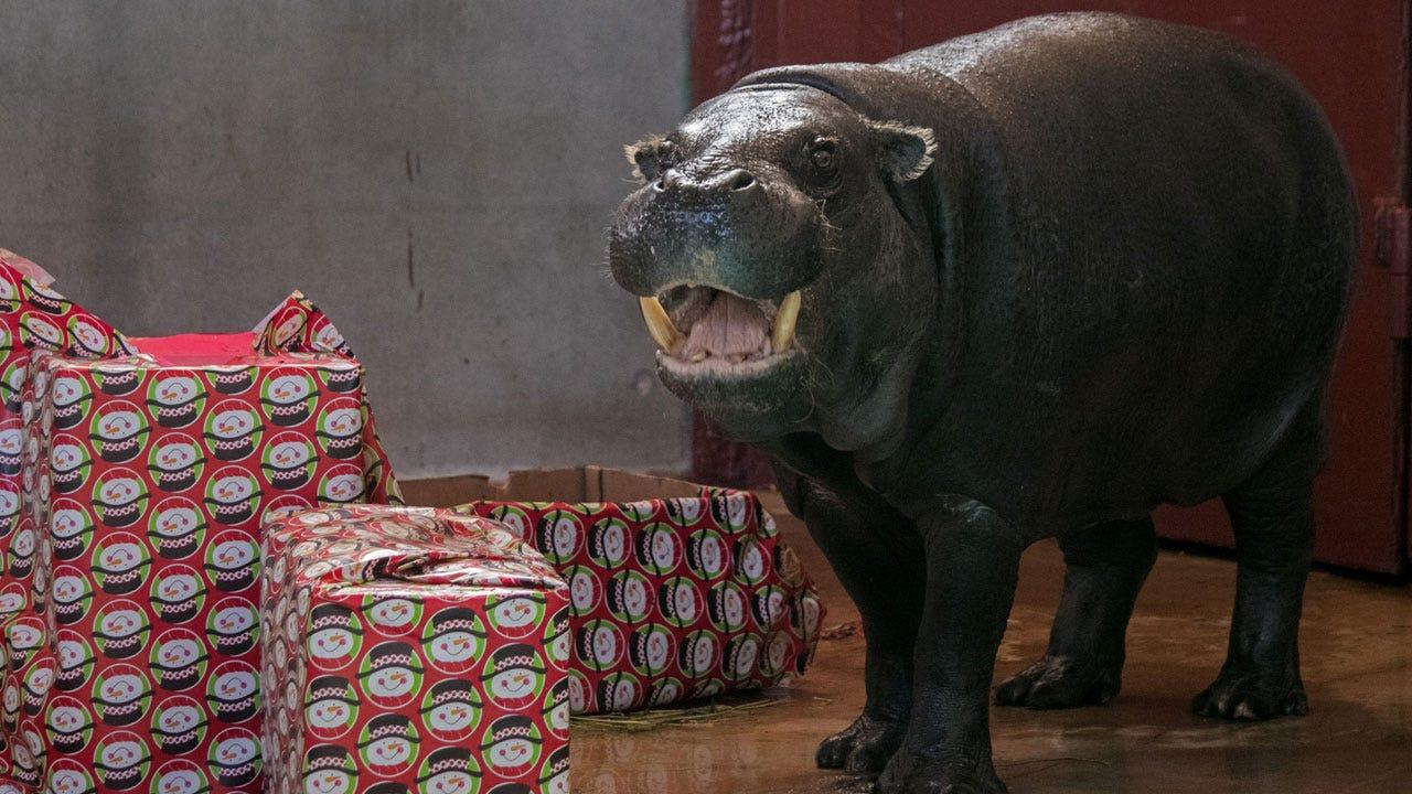 OKC Zoo Welcomes Hippopotamus For Christmas