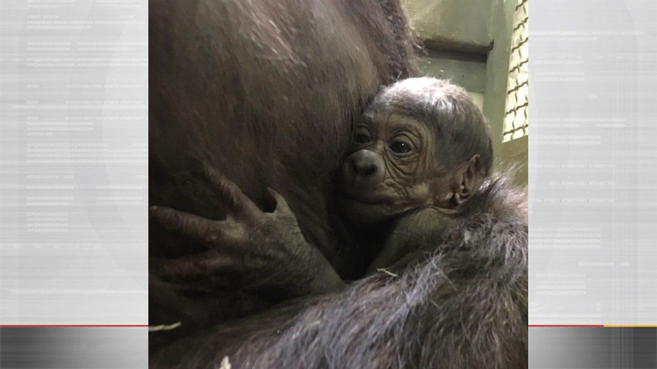 OKC Zoo Celebrates Birth Of Western Lowland Gorilla