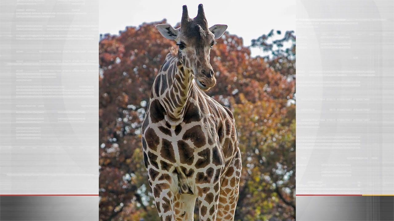 OKC Zoo Announces Death Of Female Giraffe