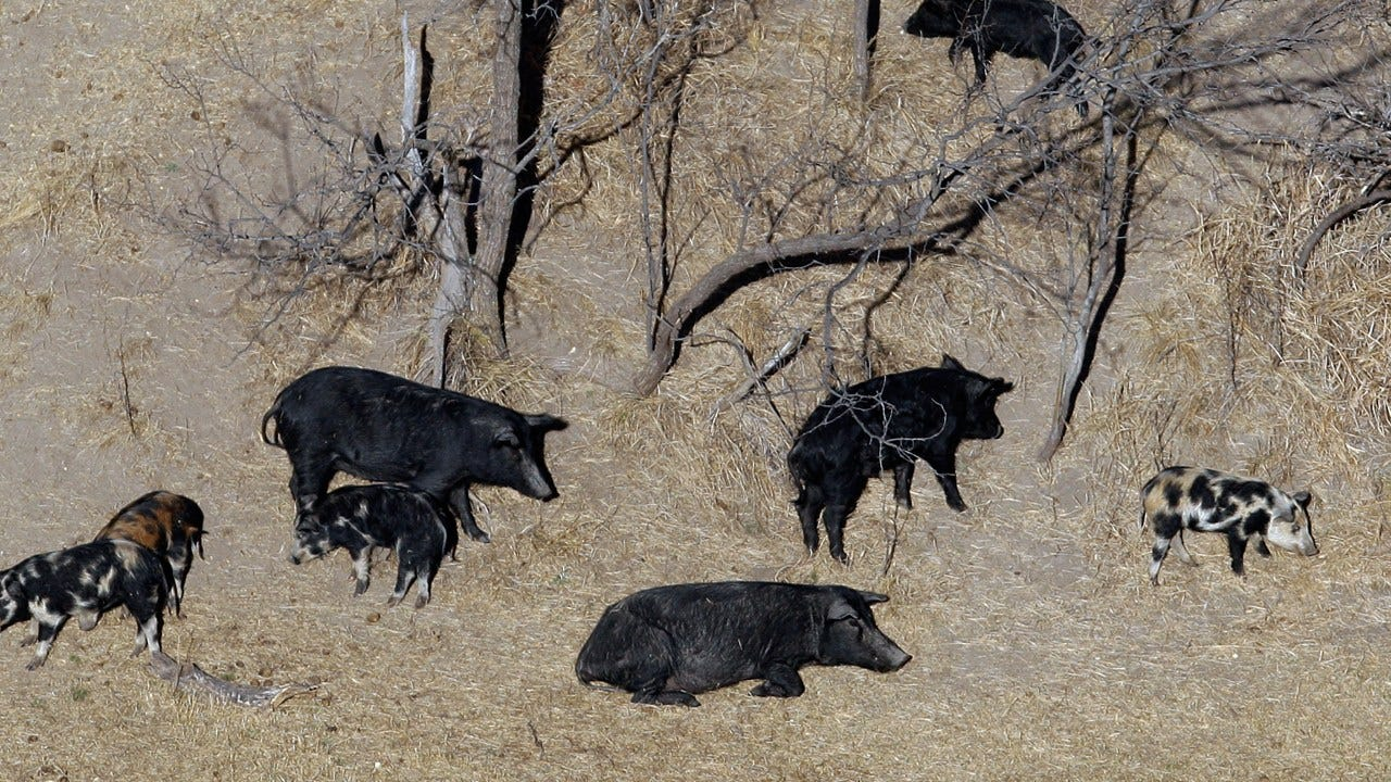 "Fearing ""Feral Hog Apocalypse,"" Texas Approves Drastic Measures"
