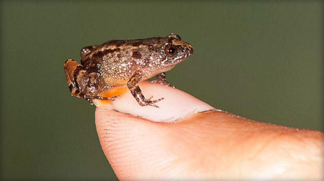 Tiny New Frog Species Found In India