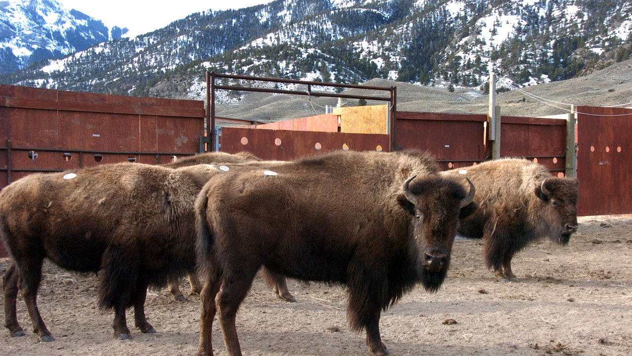 Bison Injures Woman At Yellowstone 2 Days After Park Reopens