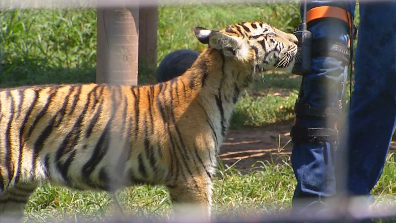 Local Zoo Takes In 19 Tigers Despite Court Order