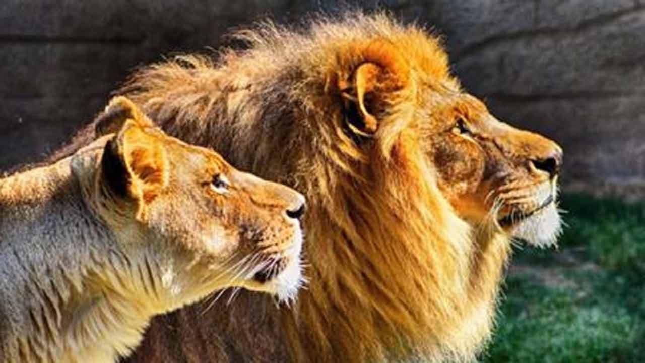 Tulsa Zoo Lion, Born In OKC, Diagnosed With Kidney Disease