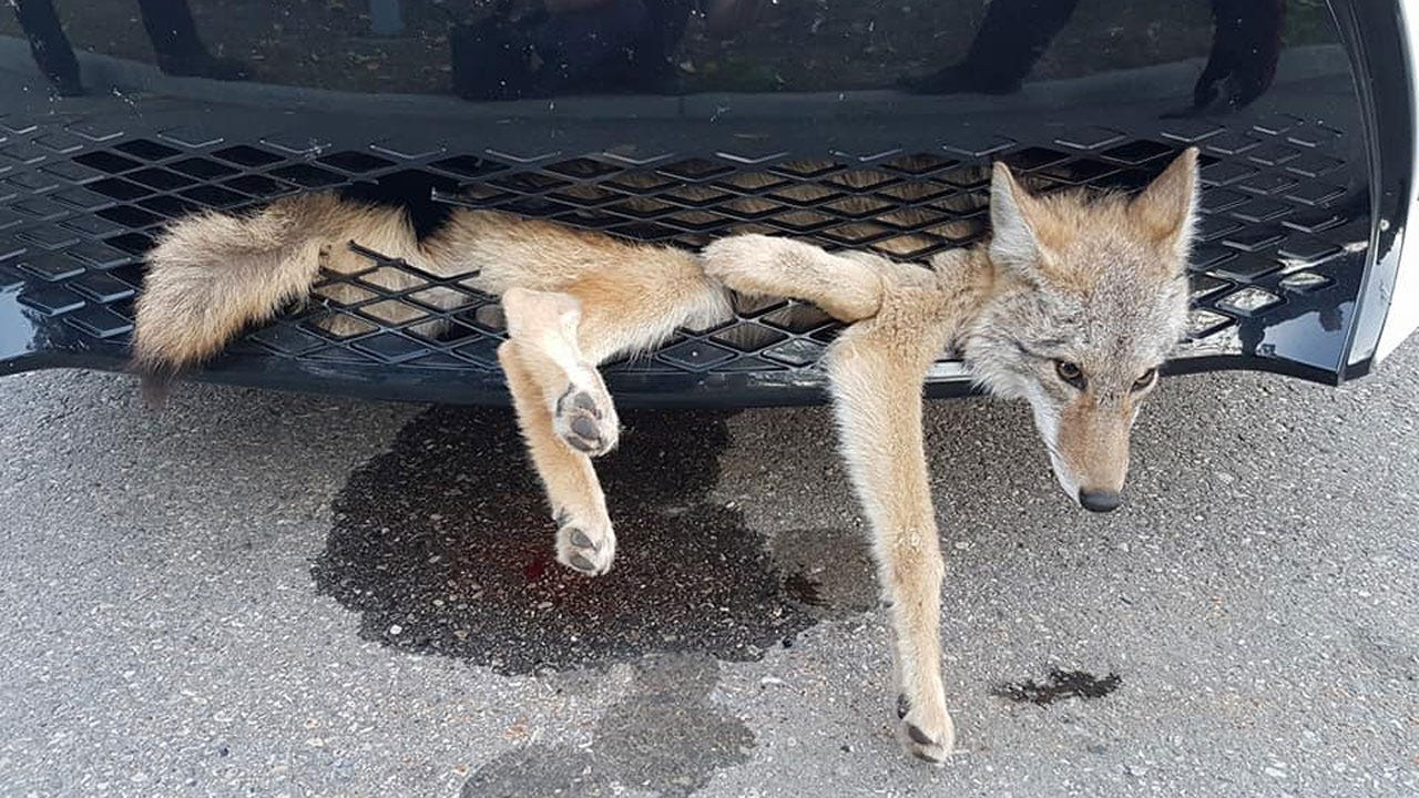 Coyote Takes Highway Ride In Grill Of Car