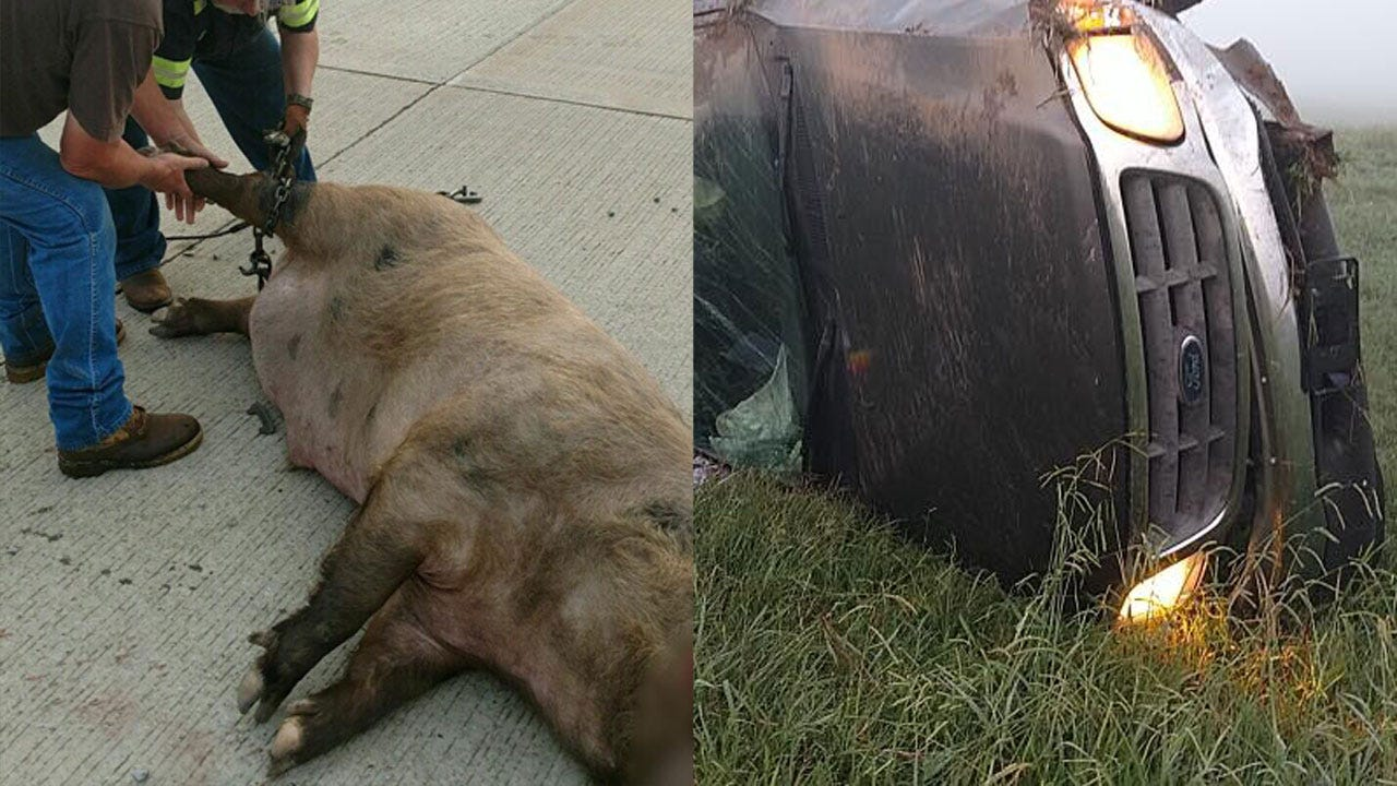 OHP Releases Photos Of Crash Involving 7-Foot-Long Wild Hog