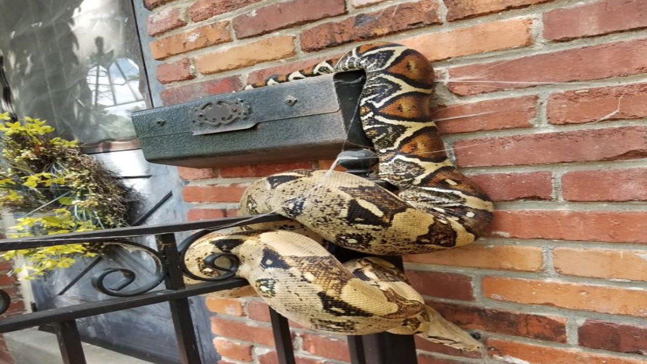 Mailman Finds Large Snake On Residential Mailbox