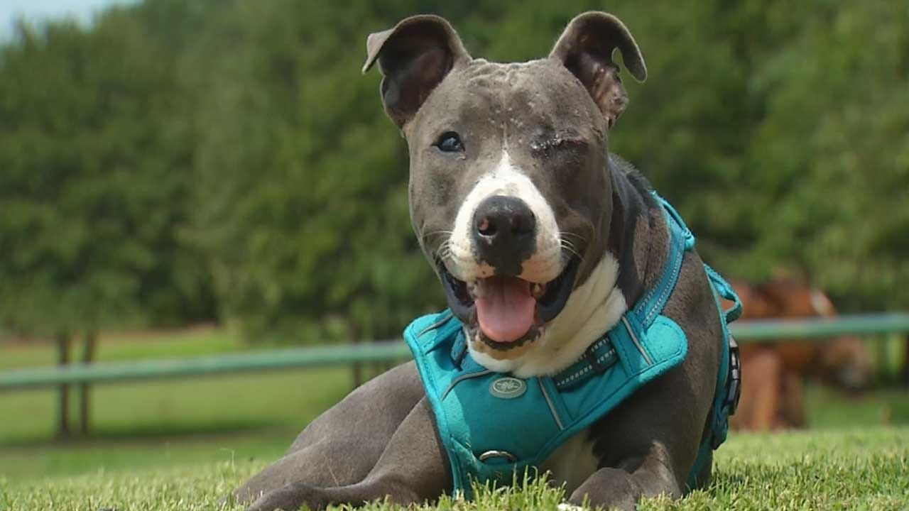 Pit Bull Shot In Face Now Recovering, Gearing Up For Adoption
