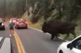 130 Days In Jail For Man Who Taunted Bison At Yellowstone National Park