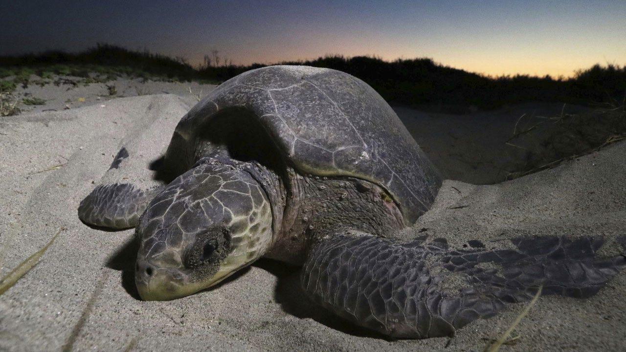 Hundreds Of Endangered Turtles Killed In Illegal Fishing Net