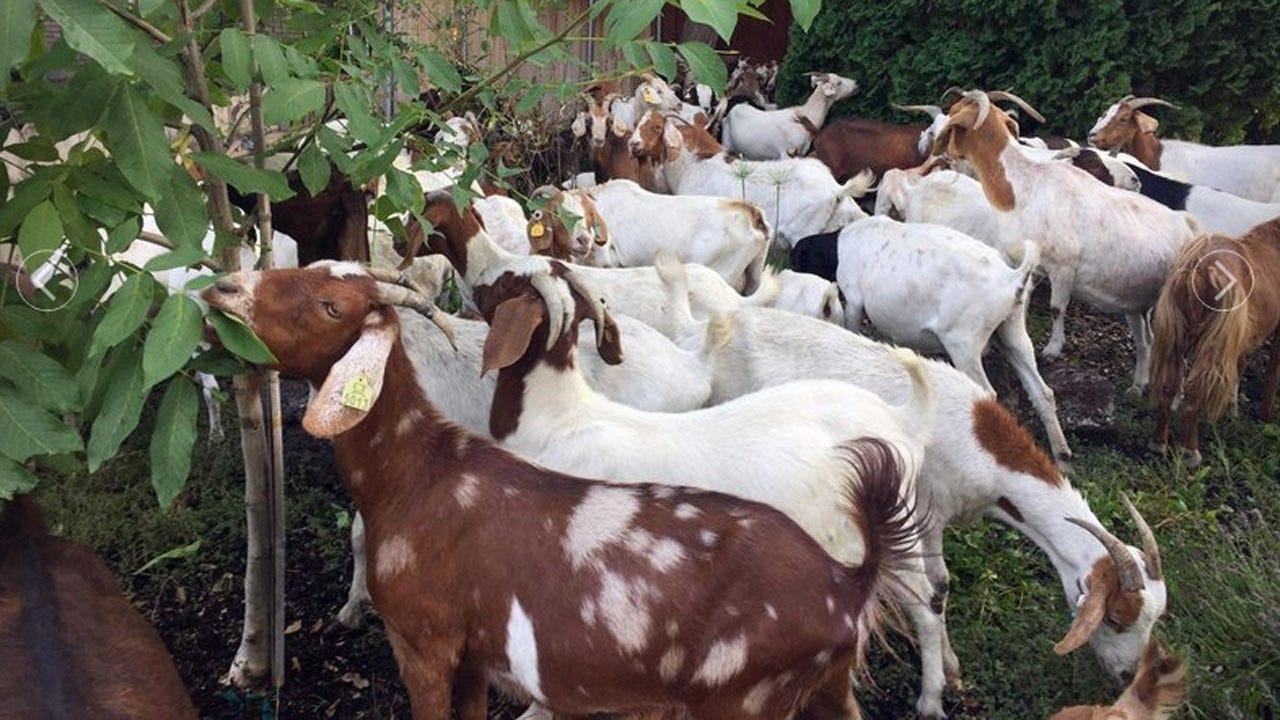 No Kidding: Dozens Of Goats Chow Down In Idaho Neighborhood