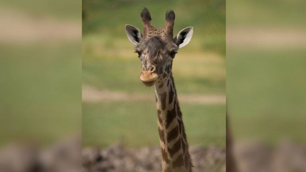 Mom, Baby Giraffe Both Die After Birth Complications At Columbus Zoo