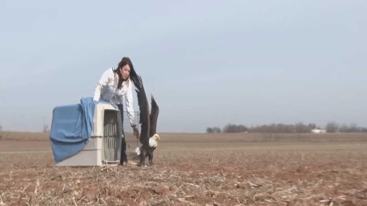 Iowa Tribe Rehabilitates Bald Eagle Hit By Car In Northern Oklahoma