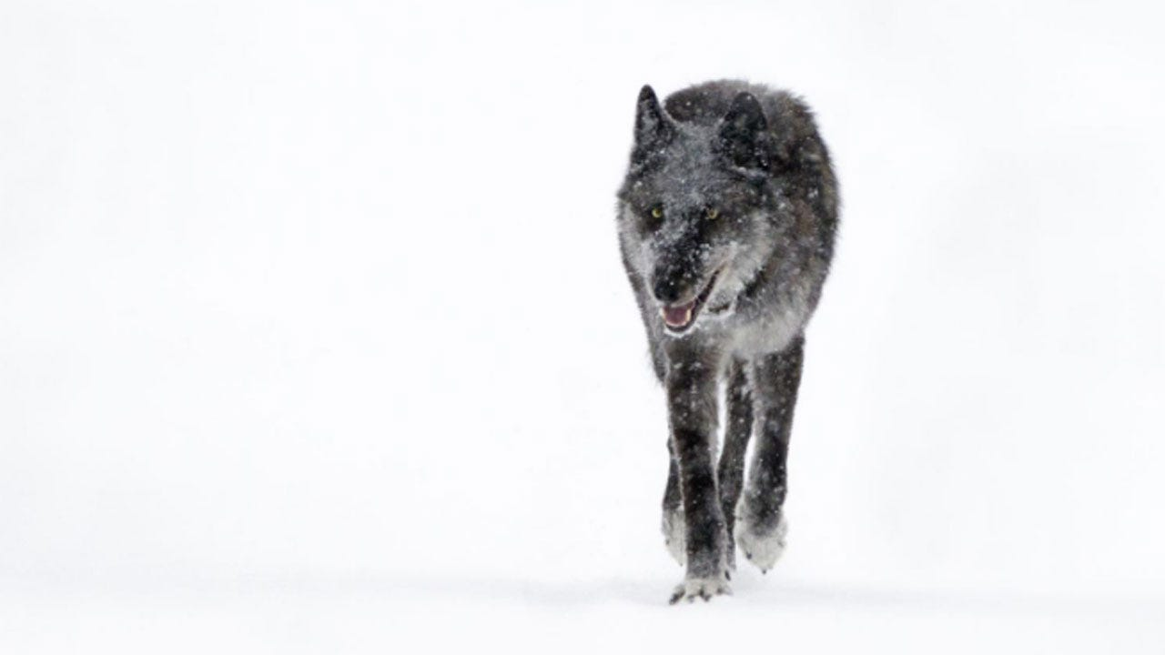 Popular Yellowstone Wolf's Killing Outside Park Sparks Calls For Change