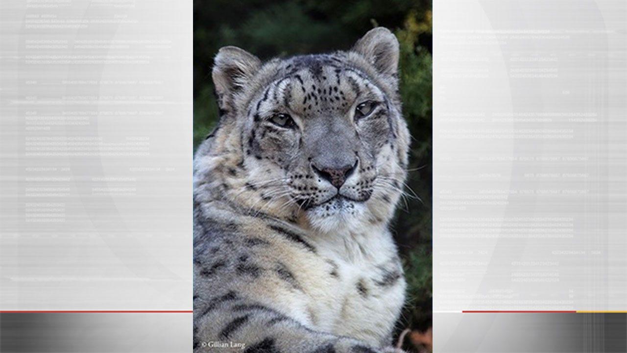 OKC Zoo Announces Death Of Snow Leopard, Kiara