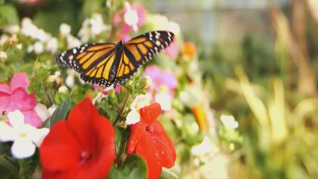 ODOT Changing Mowing To Save Monarch Butterflies