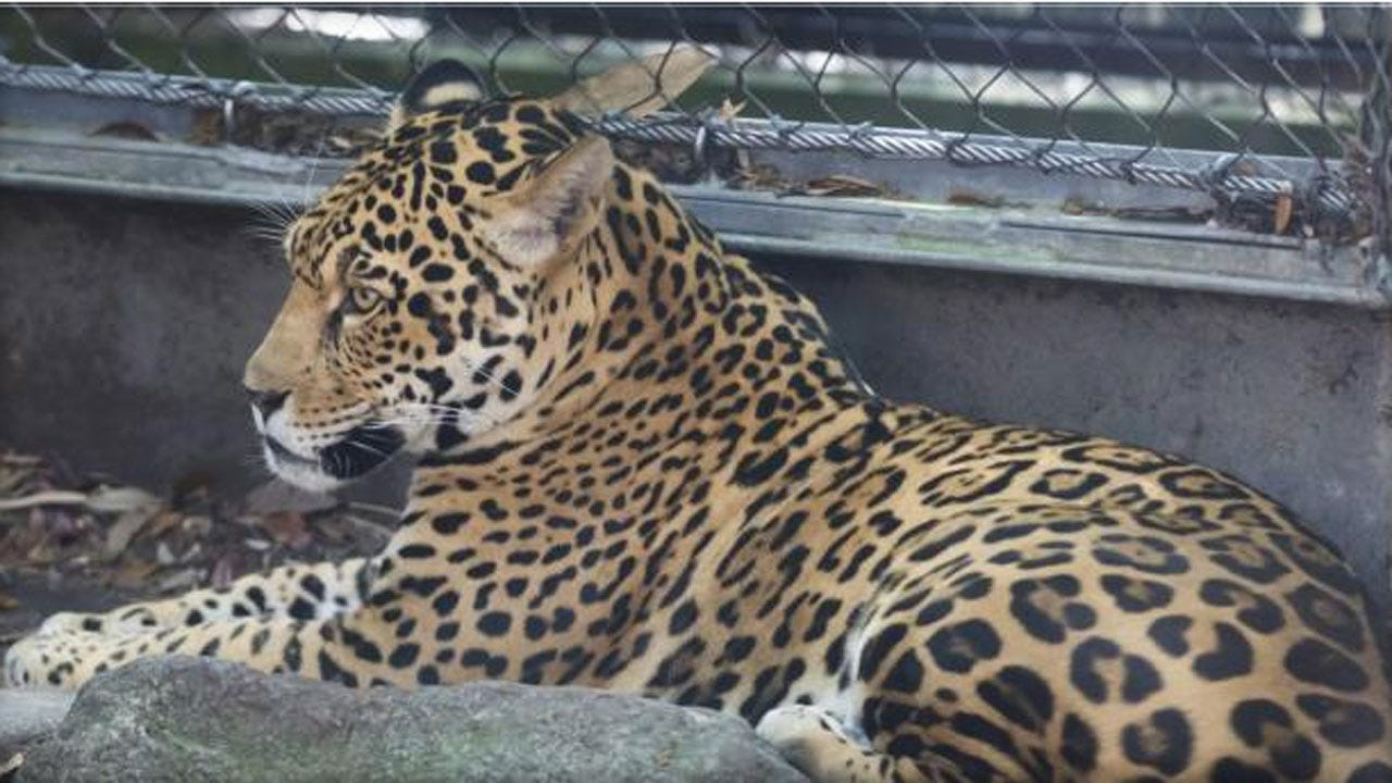 Jaguar Escapes, Kills 6 Animals At New Orleans Zoo