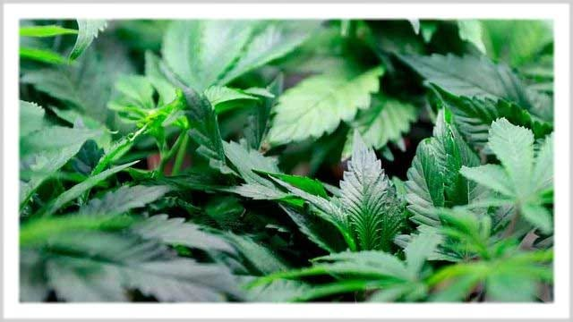 Struggle Continues As Medical Marijuana Law Goes Into Effect