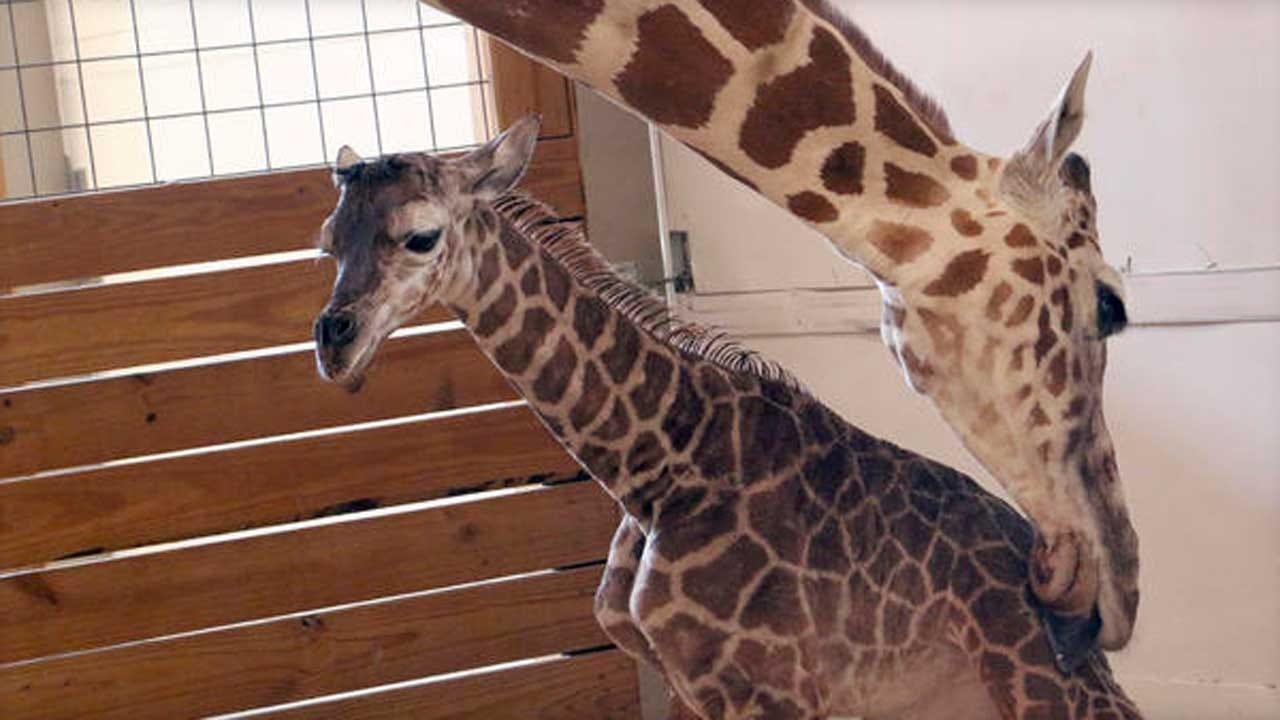April The Giraffe Is Pregnant Again, Zoo Announces