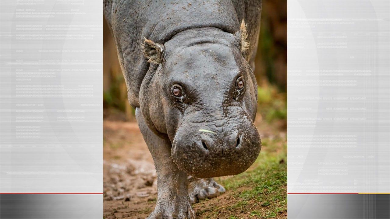 OKC Zoo Announces Death Of Pygmy Hippo, Francesca