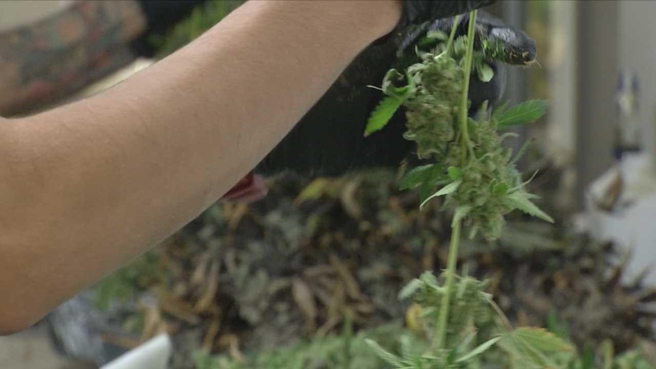 Recreational Marijuana Petition Halfway Toward Goal