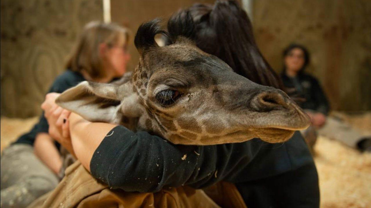 Columbus Zoo Announces Death Of Newborn Baby Giraffe