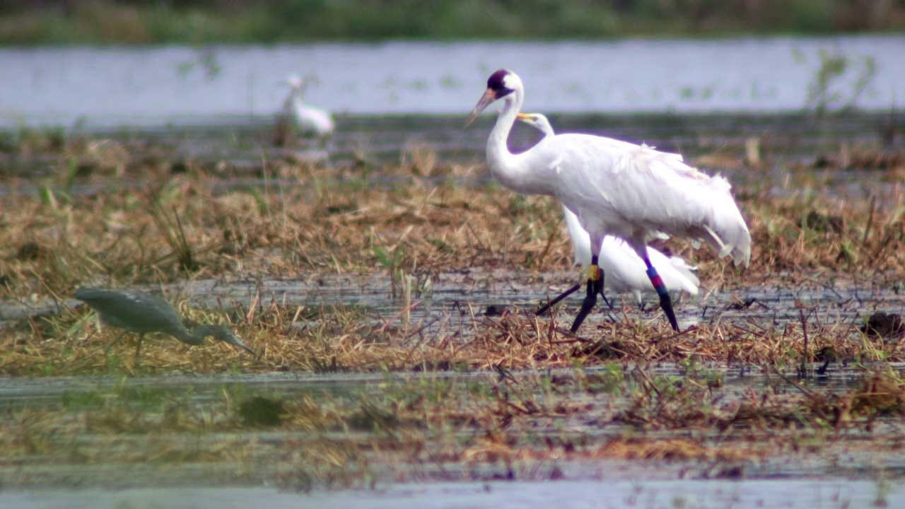 Rare Whooping Cranes Will Be Migrating Through Oklahoma