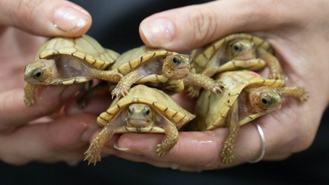 Turtle Hatchlings Welcomed At OKC Zoo