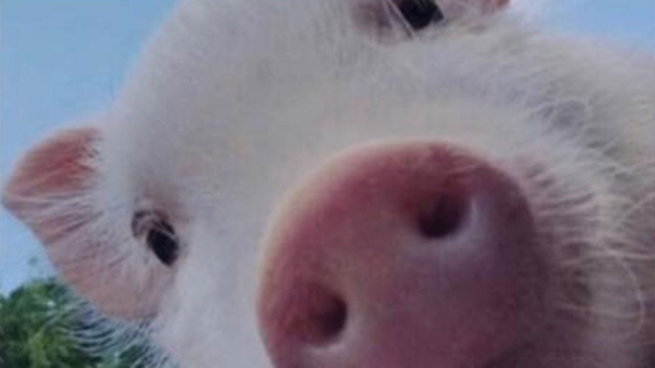 News 9 'Kiss The Pig' Winner Announced