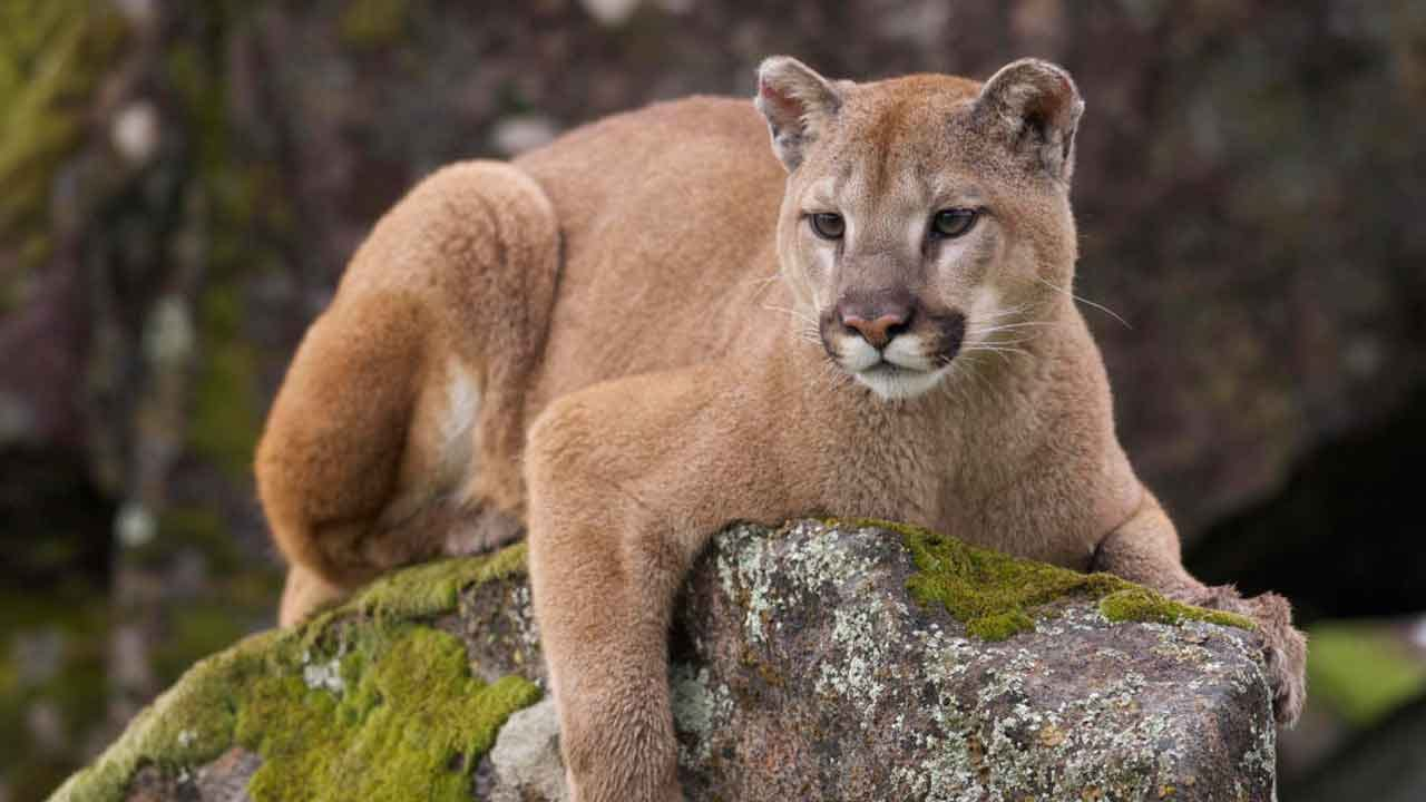 Hungry Mountain Lion Killed After Attacking Hunter Inside Park